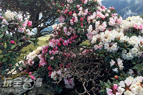 花朵簇擁枝頭,都快看不見枝節了/黃麗雯老師提供