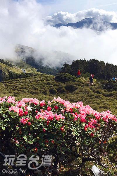 後方的雲霧沒有遮蔽杜鵑的美,反而更襯托了杜鵑的紅/黃麗雯老師提供