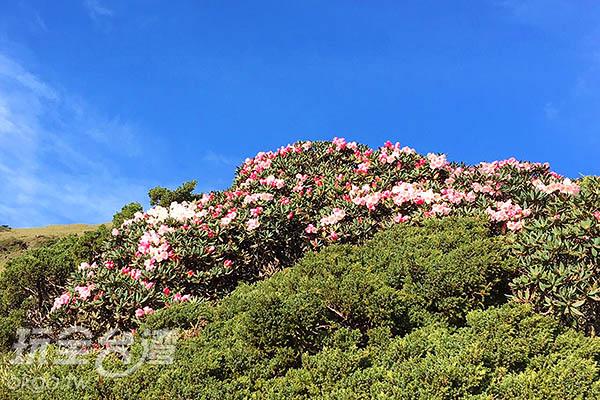 簇擁的花叢即使在樹叢間也隱身不了它的美/黃麗雯老師提供