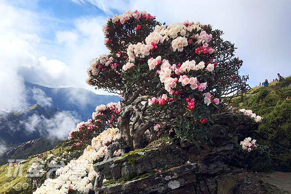換個角度看,杜鵑樹彷彿就生長在石頭上/黃麗雯老師提供