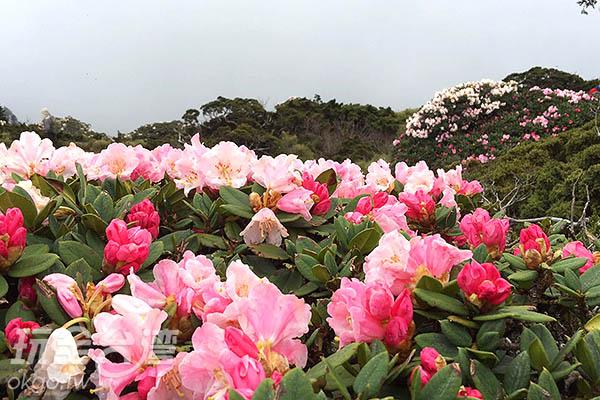 杜鵑在花期末會轉變為白色,枯萎後則皺揉成團/黃麗雯老師提供