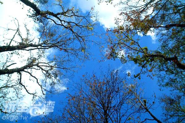由楓樹林向上一樣又是一幅美畫 /玩全台灣旅遊網攝