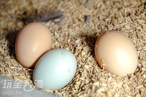 當天就幸運看見母雞產下兩種不同顏色的蛋/玩全台灣旅遊網特約記者陳健安攝