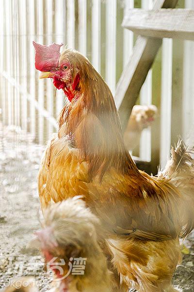 光是公雞的種類也非常多/玩全台灣旅遊網特約記者陳健安攝