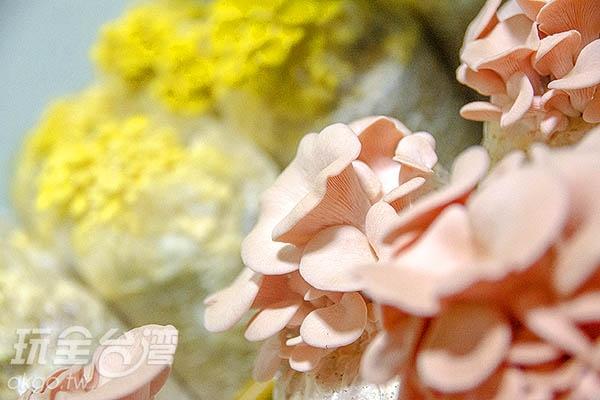 粉嫩討喜的粉紅玫瑰菇/玩全台灣旅遊網特約記者陳健安攝
