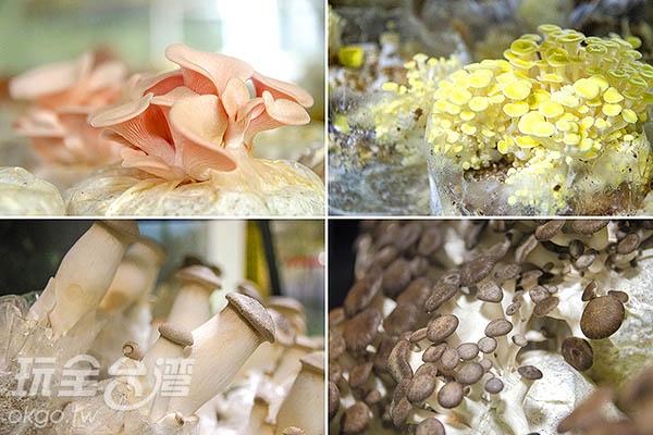 粉紅玫瑰菇、黃金菇、杏鮑菇、日本蠔菇/玩全台灣旅遊網特約記者陳健安攝