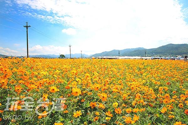 整片金黃色的花海閃閃耀眼/玩全台灣旅遊網攝