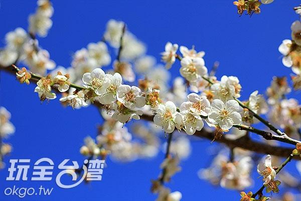 這裡抬頭便可看見美麗的梅花在藍天襯托下更顯清雅/玩全台灣旅遊網攝
