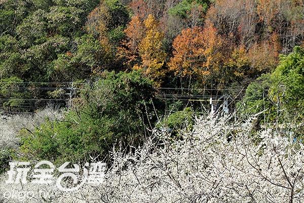 想避開人群的人可以來到土場梅園/玩全台灣旅遊網攝