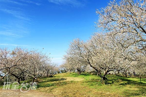 園區內進八成的梅花已綻放/玩全台灣旅遊網攝