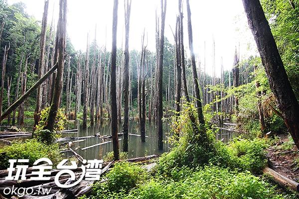 沒有樹葉的杉樹彷彿時間也跟著靜止在這裡/玩全台灣旅遊網攝