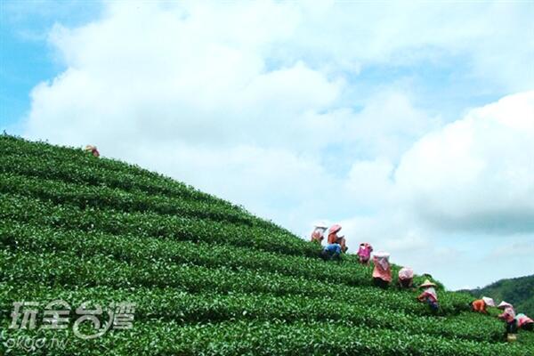 採茶姑娘的身影讓這片茶園增添了俏麗景色/玩全台灣旅遊網攝