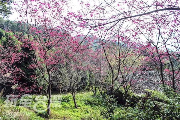 若是剛好碰上櫻花季,這裡的櫻花更是開滿山坡!/玩全台灣旅遊網特約記者57魔法Ling攝