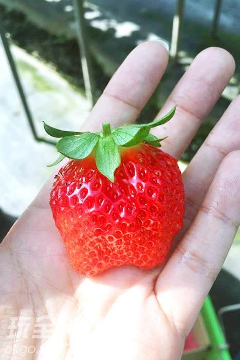 多汁的草莓讓人難以自拔的愛上/玩全台灣旅遊網特約記者林院長攝