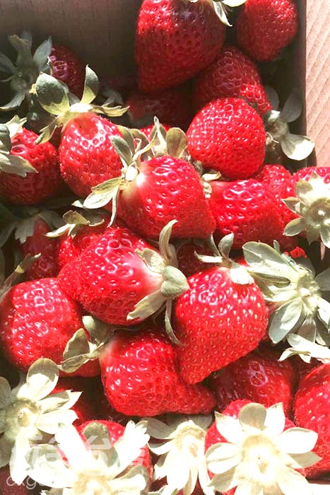 大湖是草莓王國,四處可以看見綠油油的草莓園/玩全台灣旅遊網攝