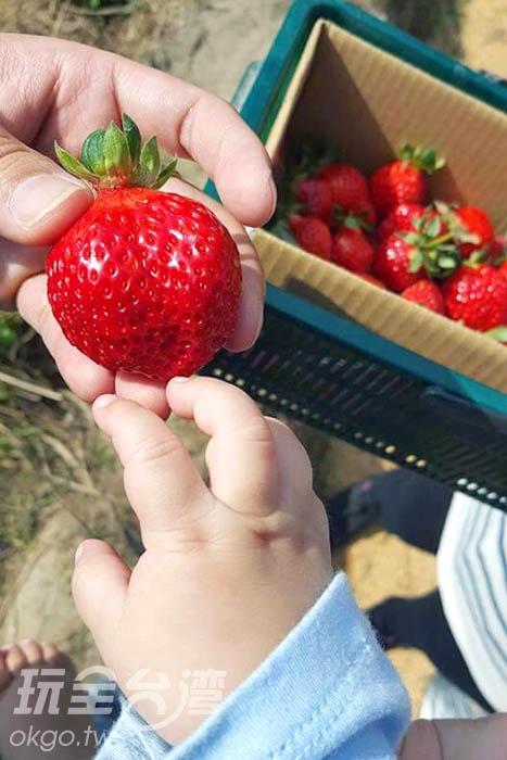 草莓的魅力連小朋友也喜愛/玩全台灣旅遊網特約記者小罵丸攝