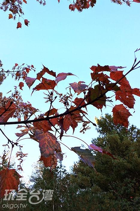 染紅了的樹葉,讓塔塔加更繽紛/玩全台灣旅遊網小艾攝