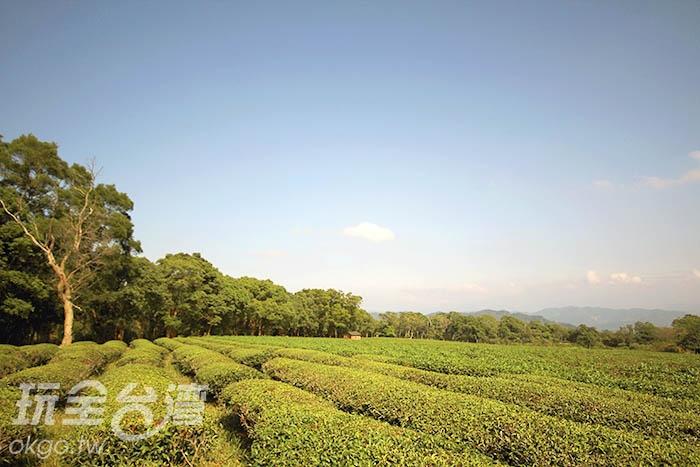 漂亮的茶園你知道是在三義哪裡嗎?/玩全台灣旅遊網攝