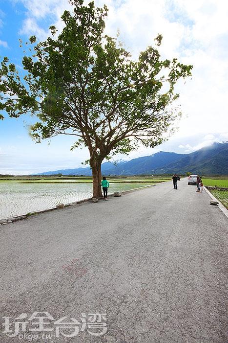 這顆就是大名鼎鼎的金城武樹啦!/玩全台灣旅遊網攝