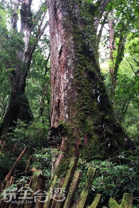 日本人稱呼巨木為神木,原住民相信神木具有神靈,能夠守護整個部落。/玩全台灣旅遊網特約記者smallting攝