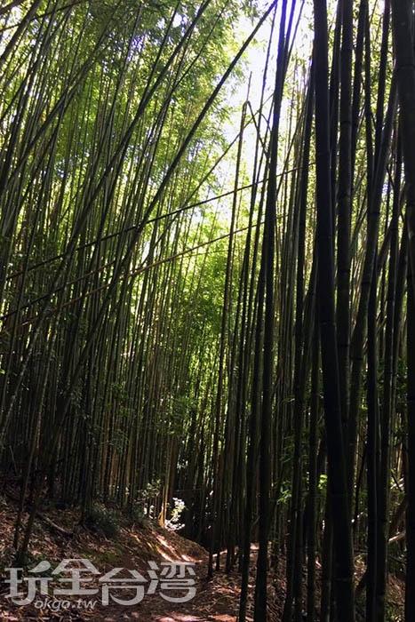 神木群步道的兩旁有著好幾處成群高聳如天際的桂竹林。