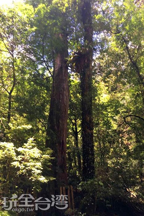 司馬庫斯部落的巨木形貌各異,但都有著粗壯的枝幹,守護這座處處生機盎然的原始森林。/玩全台灣旅遊網特約記者smallting攝