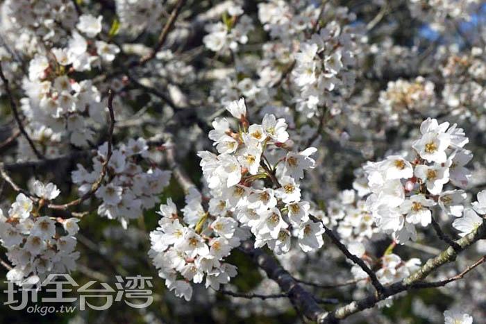 不同於粉紅色的昭和櫻,霧社櫻的雪白花瓣好似落雪片片,特別吸睛。/玩全台灣旅遊網特約記者smallting攝