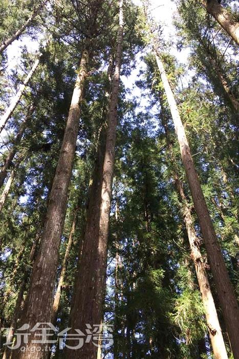 杉木林錯落在新光國小的校園中,是最好親近大自然的地方。/玩全台灣旅遊網特約記者smallting攝