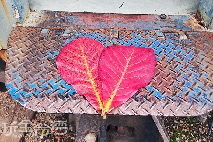 兩片落下的橘紅色樹葉結合起來頗像一顆愛心。/玩全台灣旅遊網特約記者蔡忻容攝