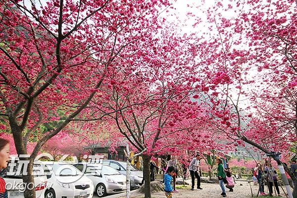 當山根櫻花盛開時,一片粉嫩的美景令人移不開目光