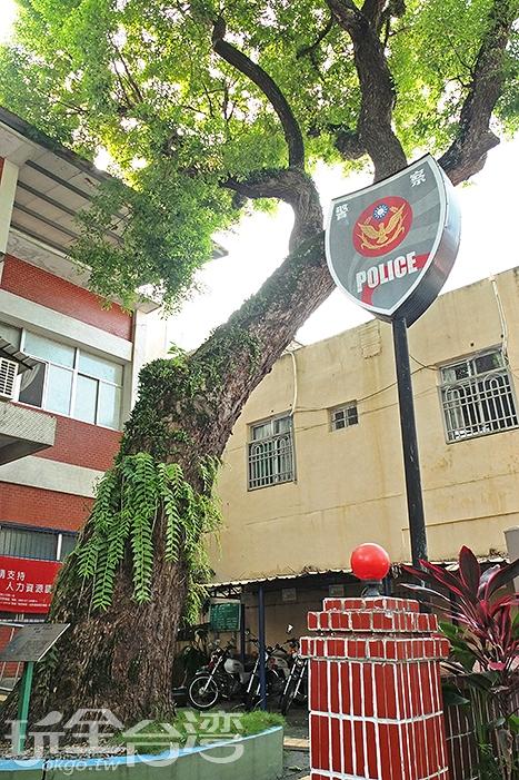 三棵百年老樟樹存活在甲仙分駐所前庭院,喜愛老樹的遊客們來留念吧/玩全台灣旅遊網特約記者阿辰攝