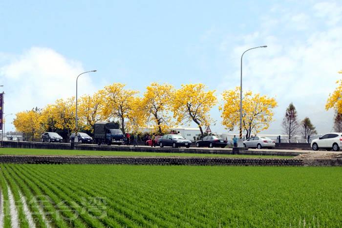 芬園黃花風鈴木花季/玩全台灣旅遊網攝