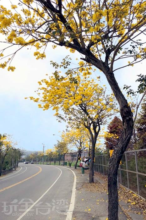 芬園黃花風鈴木花季/玩全台灣旅遊網特約記者阿湖與阿釵攝