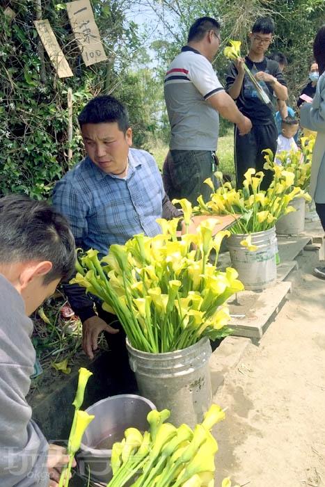 附近也有花農販售海芋,想帶把春天回家的旅客可在此購買/玩全台灣旅遊網特約記者阿湖與阿釵攝