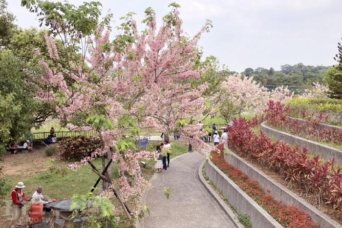 竹崎親水公園花旗木/玩全台灣旅遊網特約記者阿湖與阿釵攝