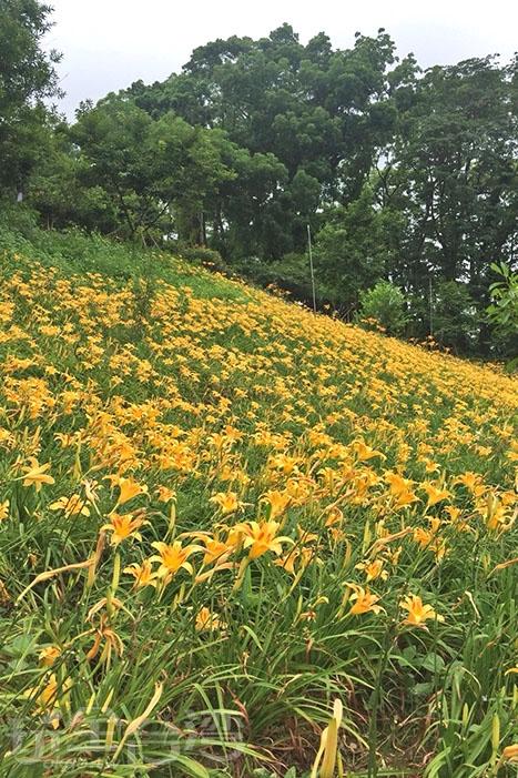 太閃了啦!!這些金黃色的小花!/玩全台灣旅遊網特約記者阿湖與阿釵攝
