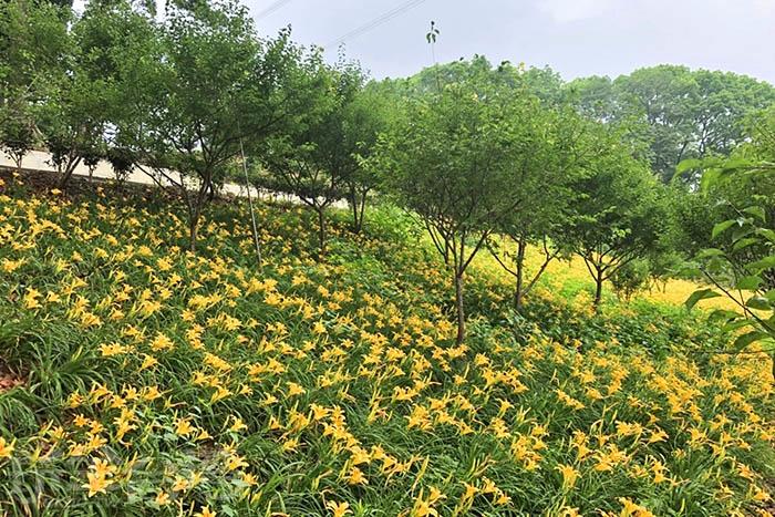 位於梅山的橫山屏休閒園區目前正被金針花海攻陷中/玩全台灣旅遊網特約記者阿湖與阿釵攝