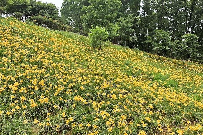 平地款於每年夏季(五六月)開花,而高山款則是在(七八月)剛好錯開!/玩全台灣旅遊網特約記者阿湖與阿釵攝