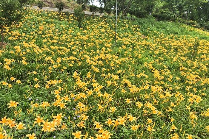 這裡的金針花屬於平地款,與花東的高山款不同喲!/玩全台灣旅遊網特約記者阿湖與阿釵攝