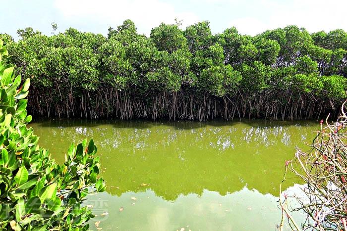 紅樹林蓬勃生長,可以看到許多招潮蟹、彈塗魚、大白鷺,等生物在此繁衍生息。/玩全台灣旅遊網特約記者阿辰攝