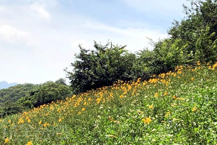 山坡上的金針花在太陽的照耀下更加閃爍/玩全台灣旅遊網特約記者阿湖與阿釵攝