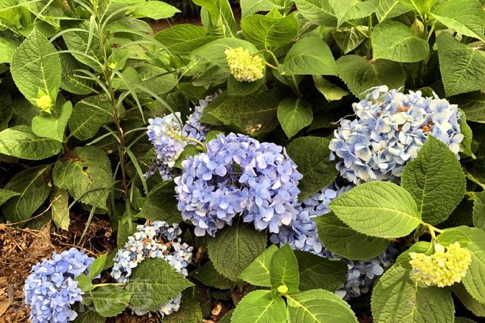 可愛的繡球花每片花瓣都精緻可愛/玩全台灣旅遊網特約記者阿湖與阿釵攝