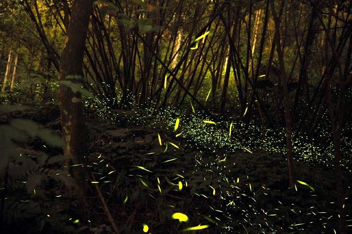 鹿谷螢火蟲季/照片提供_JIAHUA