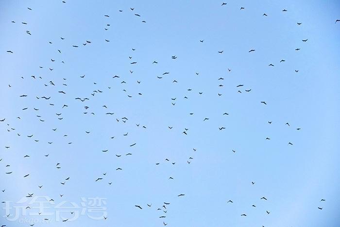 果然很準時。仰頭吧!黑腹燕毆已經開始出現在空中聚集盤旋/玩全台灣旅遊網特約記者阿辰攝
