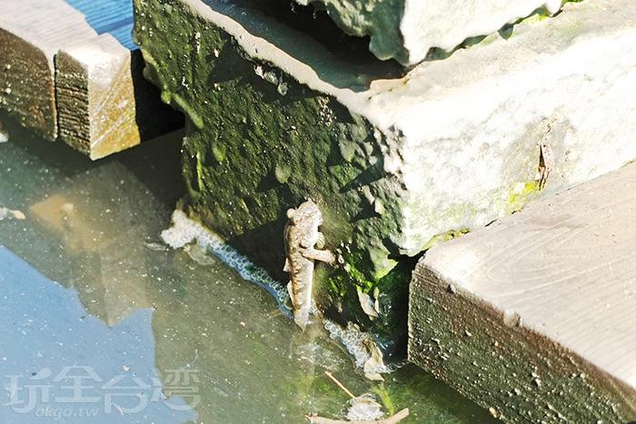 大家可以近距離觀察溼地生態,包括招潮蟹、彈塗魚等/玩全台灣旅遊網特約記者阿辰攝