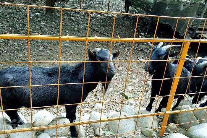 在磨仔墩故事島內還可以餵山羊吃草唷!/玩全台灣旅遊網特約記者殘月攝