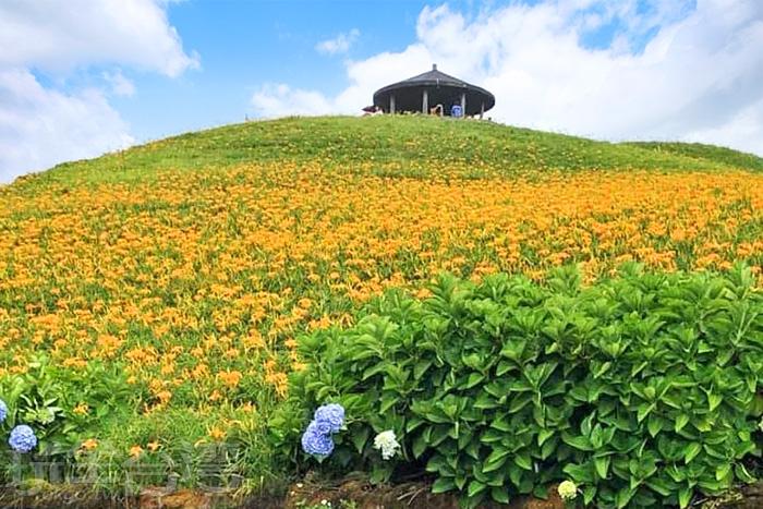 繡球花點綴在金針花海間。/玩全台灣旅遊網特約記者隱月攝