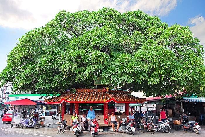 行經歸仁路與歸義巷交叉口,會看到這棵樹齡超過300年歷史的大緬梔(雞蛋花樹)/玩全台灣旅遊網特約記者阿辰攝