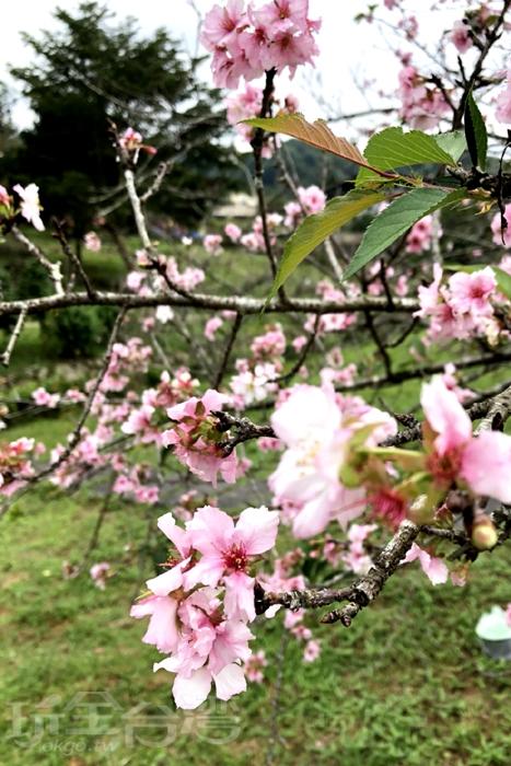 石馬公園九月櫻/照片提供_阿湖與阿釵
