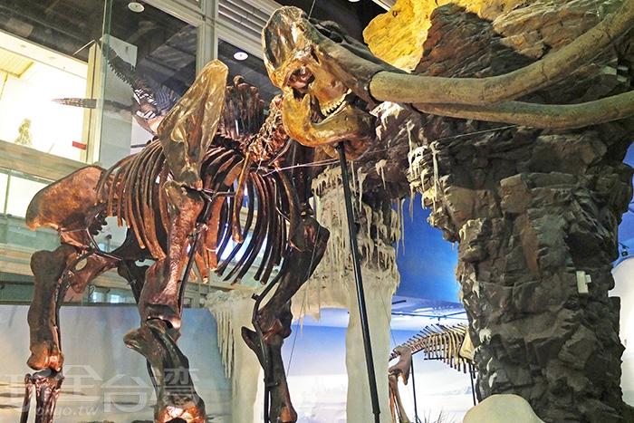 「樹谷」超人氣展示,巨無霸劍齒象/玩全台灣旅遊網特約記者阿辰攝